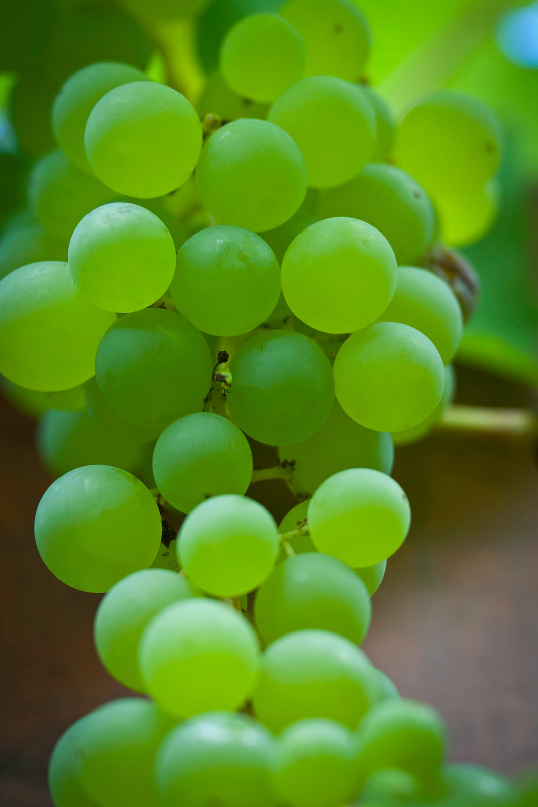 _0006_photography-grapes